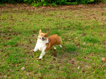 One of the absolute greatest pleasures of my life: our Welsh corgi named Chacuer